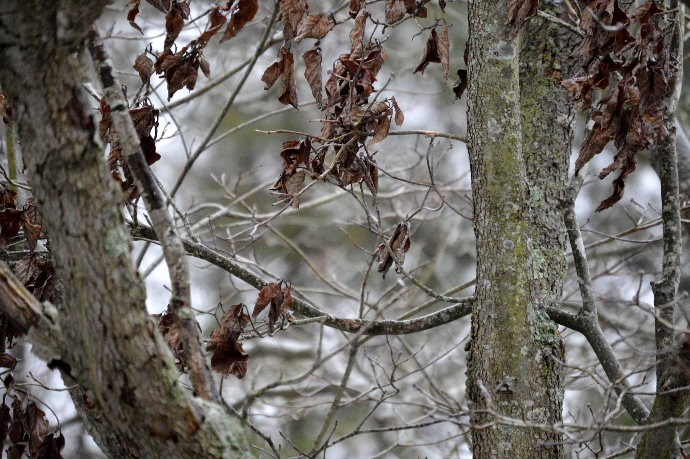 Dead leaves on a tree